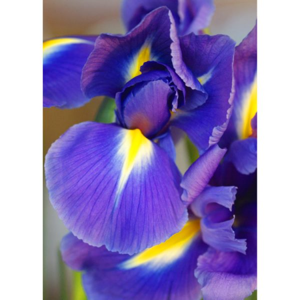 Front of double image greetings card with close up photo of two purple irises