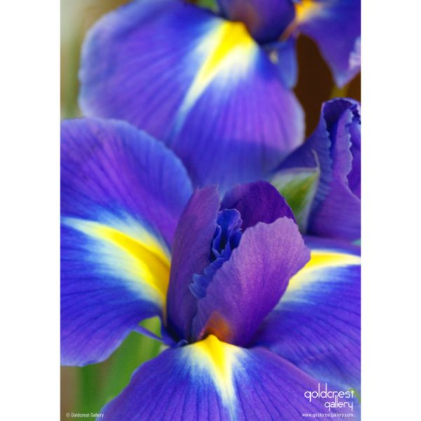 Back of greeting card with close up photo of purple iris