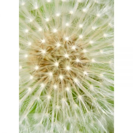 Greetings card with macro photograph of a dandelion seed head