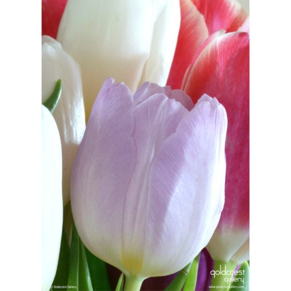Back of greeting card with close up of purple tulip in bunch of pink and white tulips