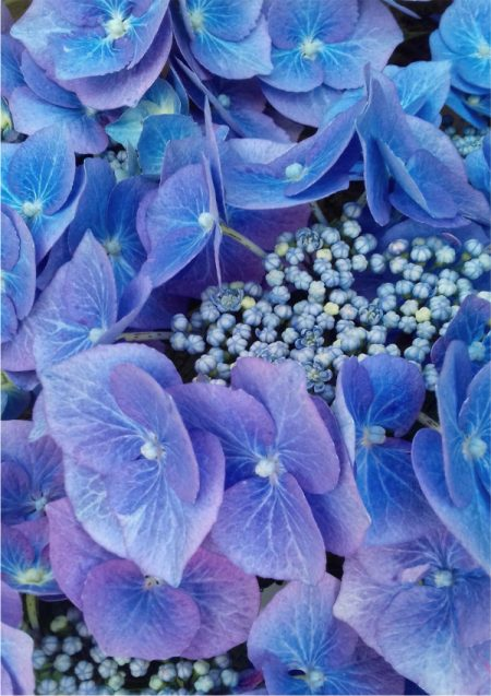 Print of an abstract photo showing closeup details of blue hydrangea flowers