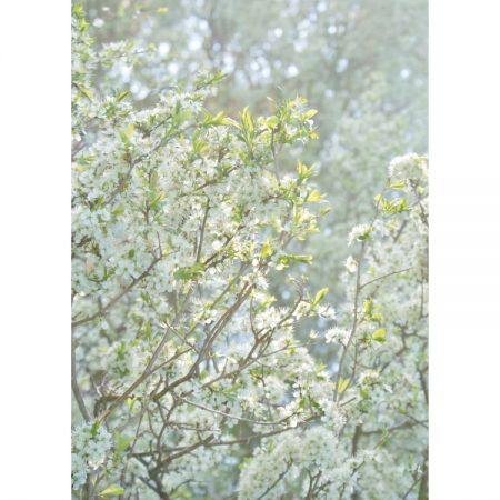 Photograph of misty apple tree branches with blossoms greetings card design