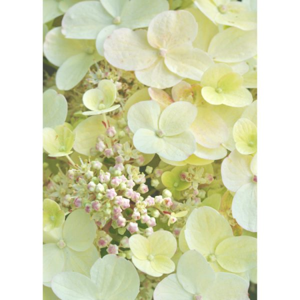 Greetings card with close up photograph of creamy white hydrangea flowers and pinky-white buds