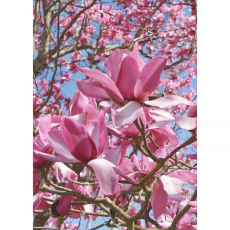 Greetings card with photographic image of bright pink magnolia flowers against a blue sky