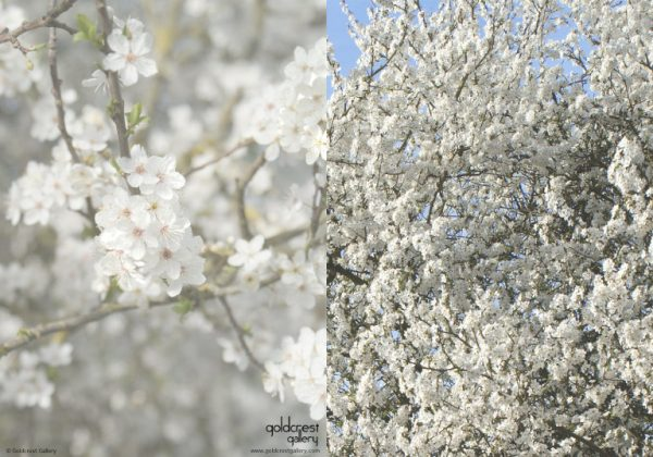 Greetings card with front and back photographs of white blossom