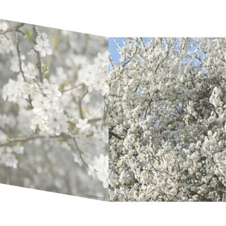Greetings card with two photos of white spring blossoms