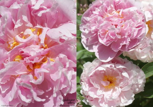 Greetings card with two photos of pink peony flowers