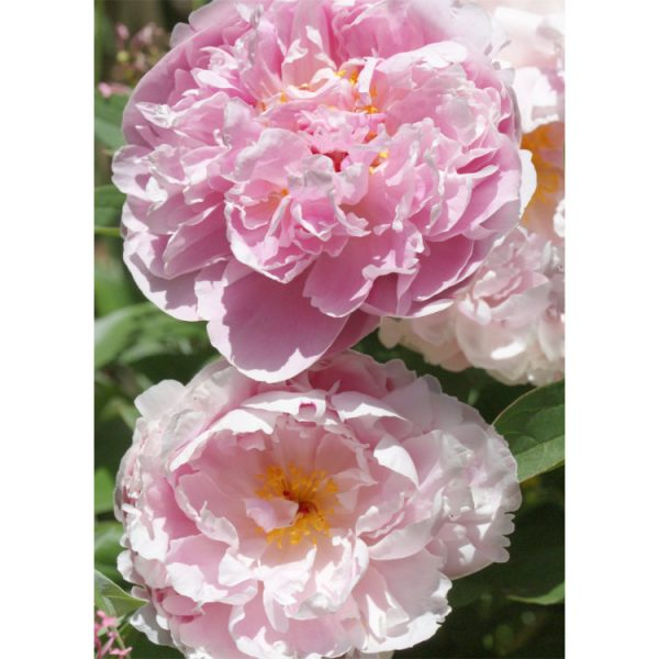 Front photo of greetings card with two pink peony flowers