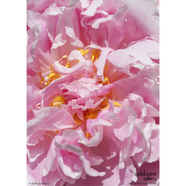 Back of greetings card with macro photo of pink peony flower