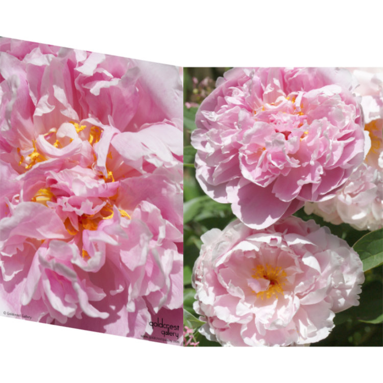Greetings card with front and back close up photos of pink peonies