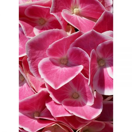 Greetings card with close-up photograph of white-edged pink hydrangea petals